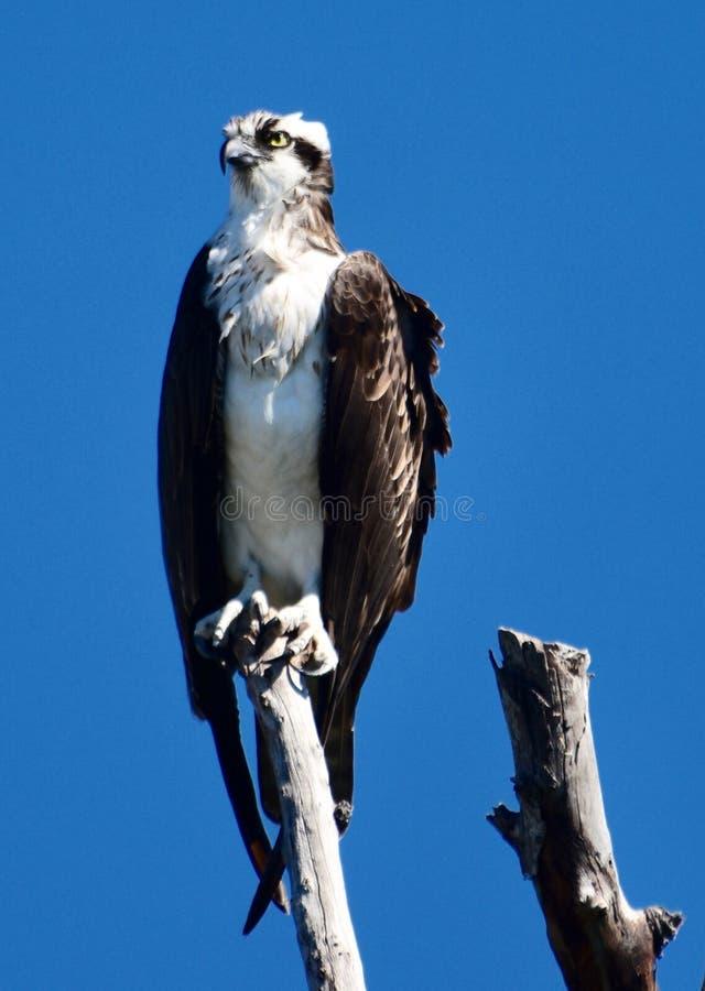 Falco pescatore occidentale appollaiato su un arto di albero #3 immagine stock libera da diritti