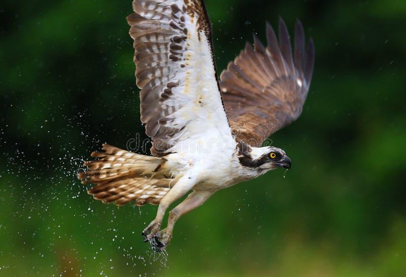 Falco pescatore Scozia immagini stock libere da diritti