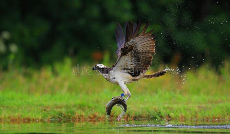 Falco pescatore Scozia fotografie stock