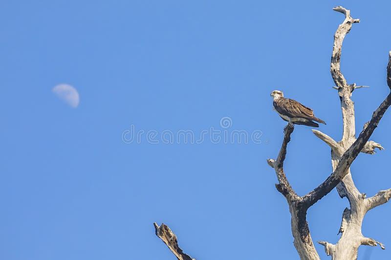 Falco pescatore sopra un albero nudo alto con la luna nei precedenti fotografie stock