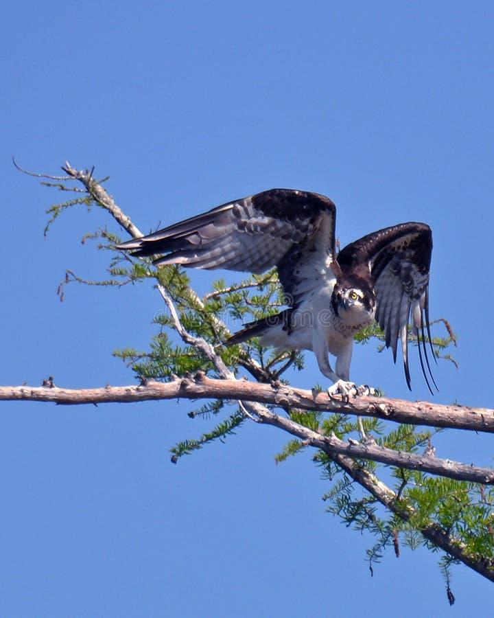 Falco pescatore sul fiume Tombigbee - l'Alabama immagini stock libere da diritti