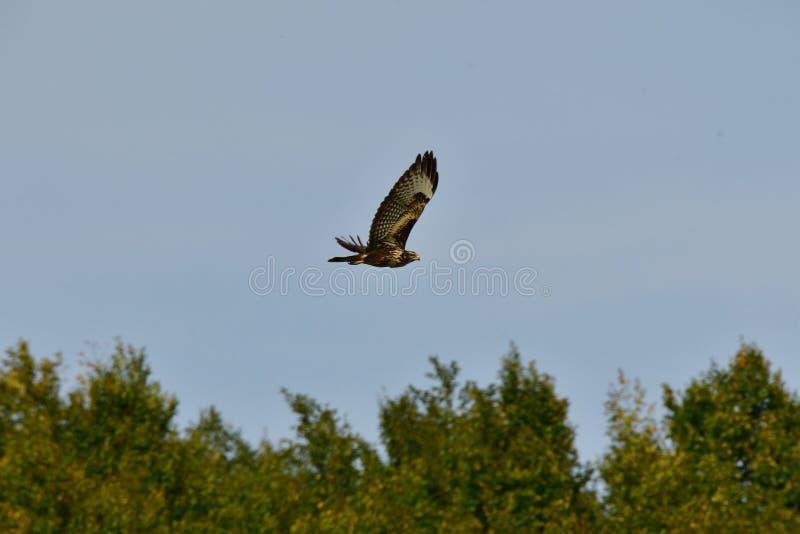 Falco predatore che sorvola la foresta immagine stock