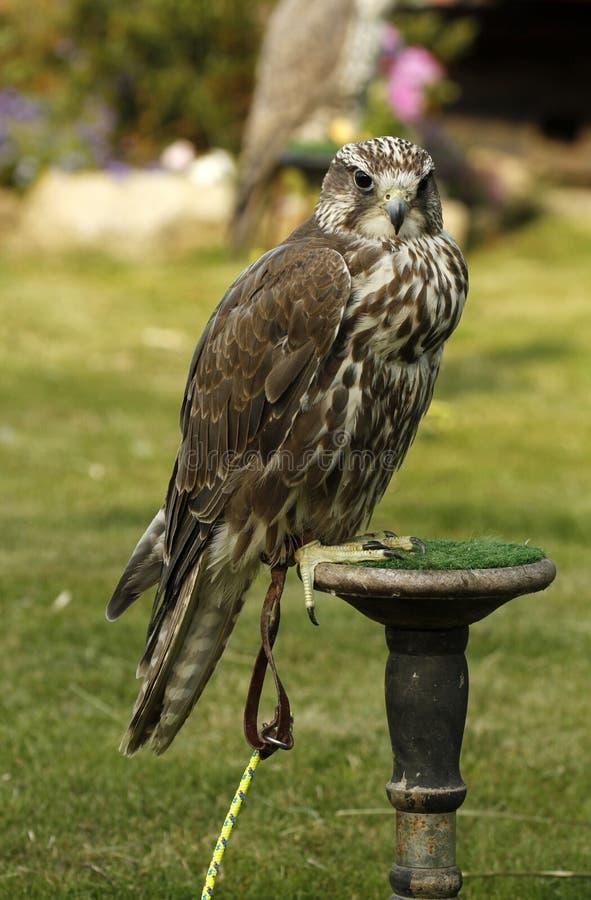 Falco puro di Saker fotografie stock libere da diritti