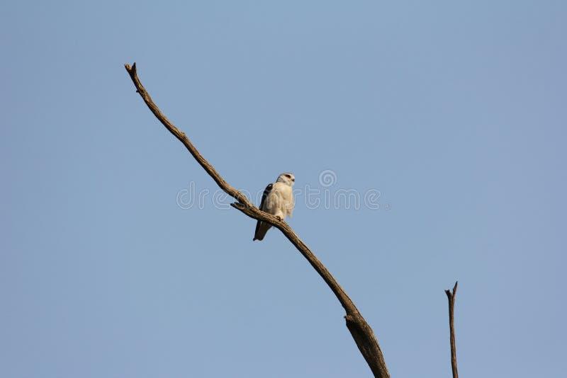 Falco - Rietvlei fotografia stock
