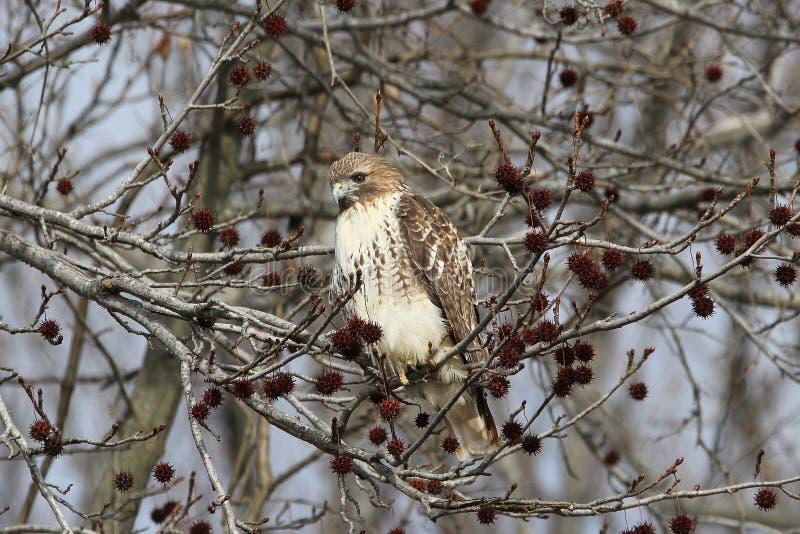 Falco rosso della coda immagini stock libere da diritti