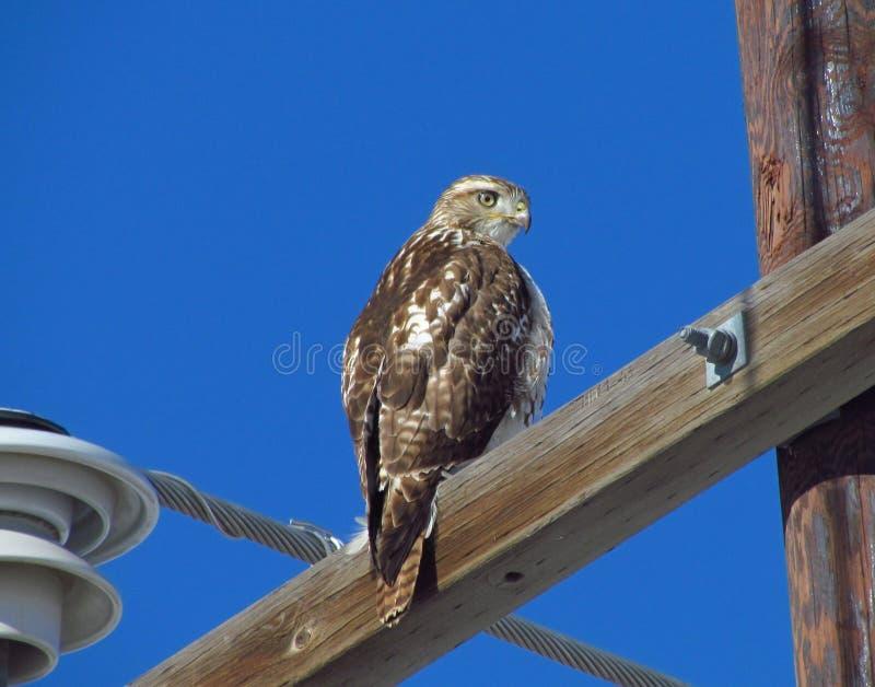 Falco rosso della coda immagini stock