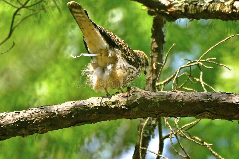 Falco rosso della coda immagine stock libera da diritti