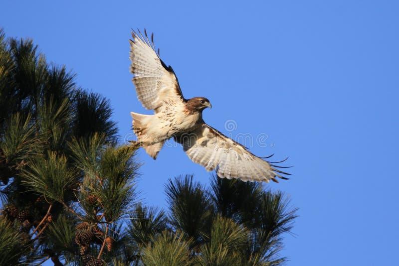 Falco rosso della coda che decolla appena immagine stock
