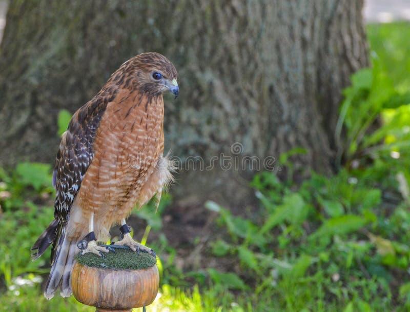 Falco rosso della spalla che guarda giù fotografia stock libera da diritti