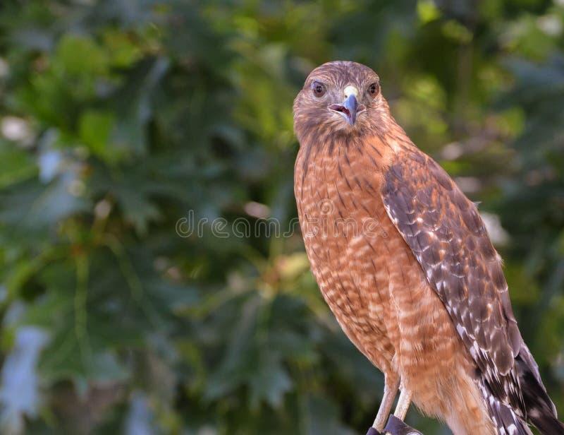 Falco rosso della spalla che mi esamina dal lato immagine stock libera da diritti