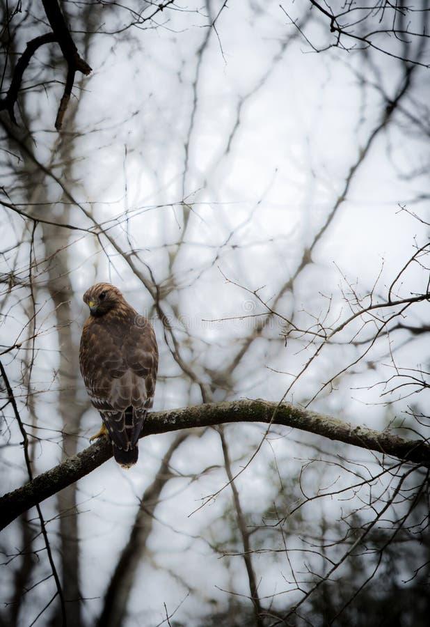 Falco rosso di spalle appollaiato sul ramo di un albero immagini stock libere da diritti