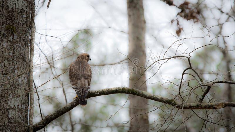 Falco rosso di spalle appollaiato sul ramo di un albero immagini stock