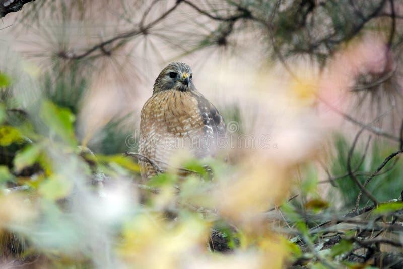 falco Rosso-messo appollaiato in albero fotografie stock