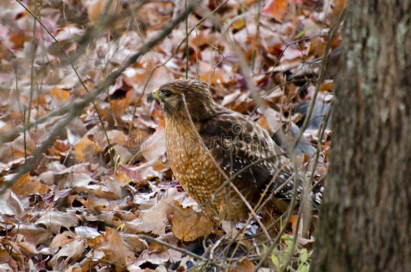 falco Rosso-messo in foglie fotografie stock