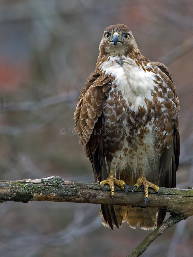 falco rosso-munito fotografia stock