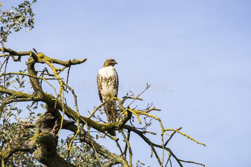 Falco Rosso-munito giovanile (jamaicensis del Buteo) appollaiato su un ramo di quercia, prerogativa dello spazio aperto della val immagini stock libere da diritti