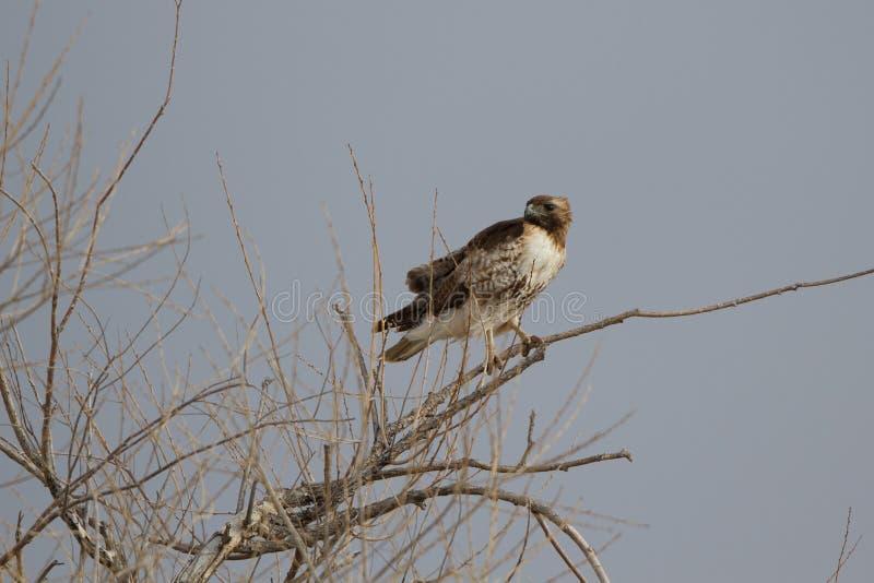 Download Falco Rosso-munito, Jamaicensis Del Buteo Fotografia Stock - Immagine di albero, luce: 30826858