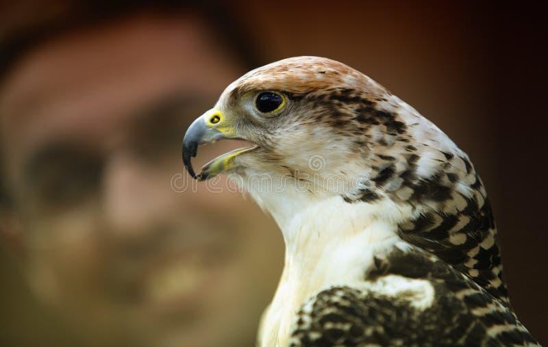Falco rusticolus royalty-vrije stock afbeeldingen