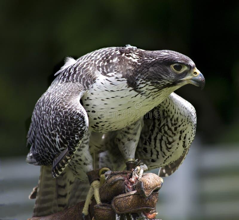 Falco Rusticolus do falcão de Gyr imagem de stock