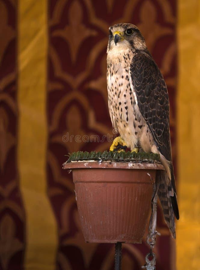 Falco sparverius lizenzfreies stockfoto