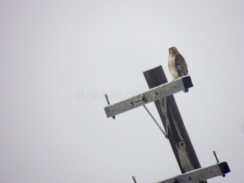 Falco sul tele palo fotografia stock