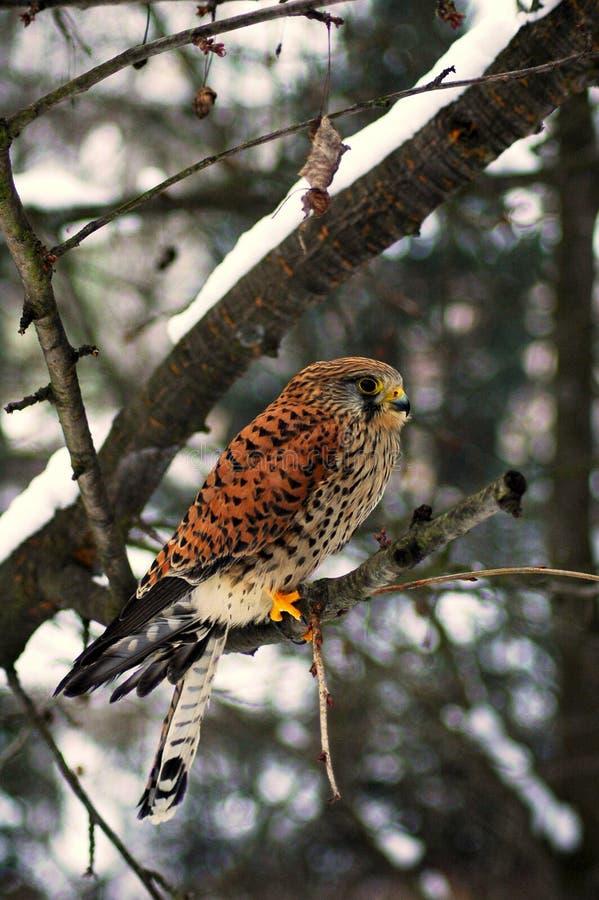 Falco tinnunculus. The predator Falco tinnunculus sitting on twig stock image