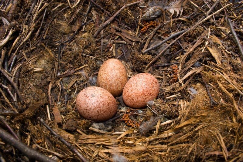 Falco tinnunculus, Kestrel. Nest of a Kestrel with eggs. The Common Kestrel (Falco tinnunculus) is a bird of prey species belonging to the kestrel group of the stock image