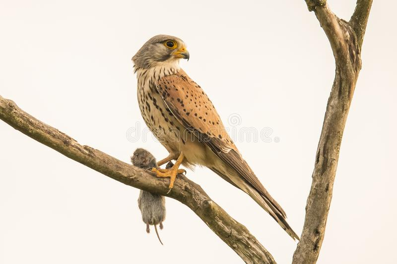 Kestrel, Falco tinnunculus. Bird of prey. Falco tinnunculus, the Kestrel is a small bird of prey. Kestrels are known as wind-hoverers royalty free stock photo