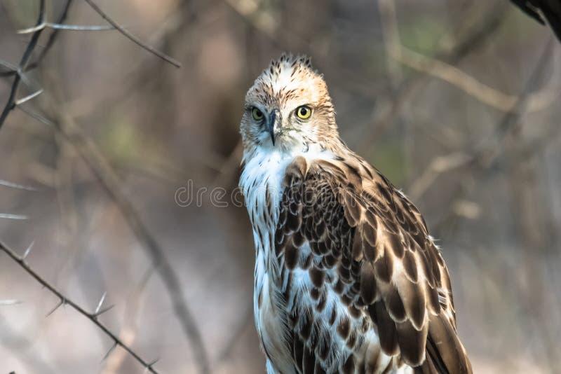 Falco variabile giovanile fotografie stock