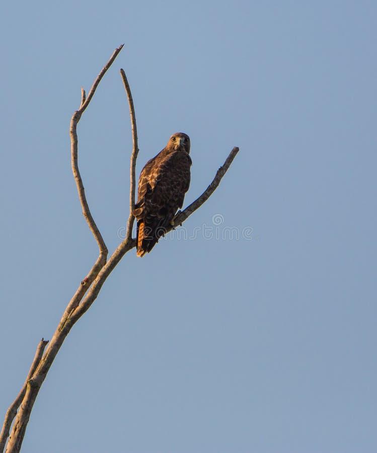 falco Vasto-alato appollaiato su un albero asciutto fotografie stock