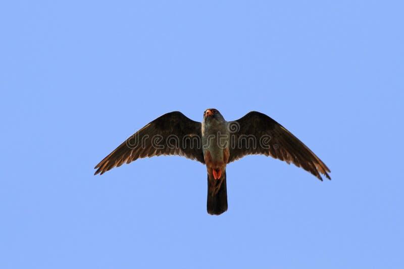 Falco vespertinus arkivfoton