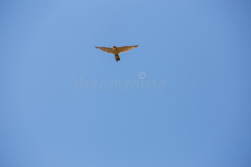 Falco in volo, falco pellegrino, peregrinus del falco fotografia stock