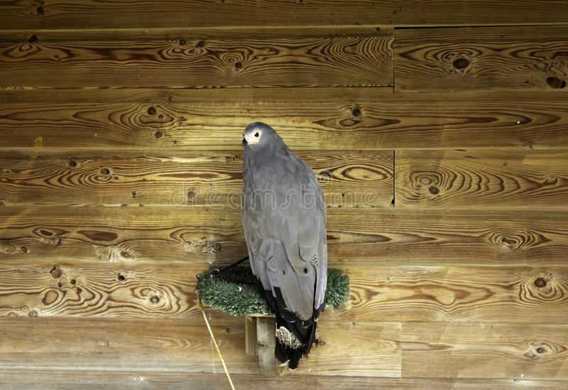 Falcoaria real de Eagle fotos de stock royalty free