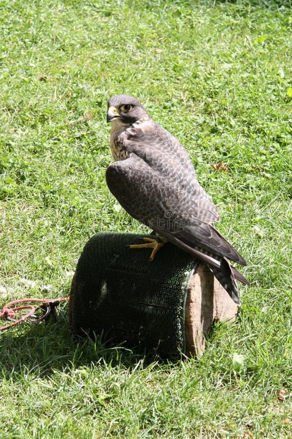 Falcon stock photos