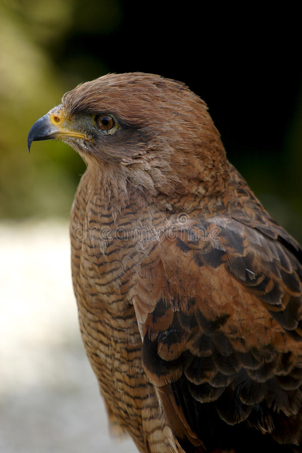 Download Falcon stock image. Image of feathers, details, bird - 13697971
