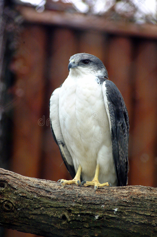 Free Falcon Royalty Free Stock Images - 1425849