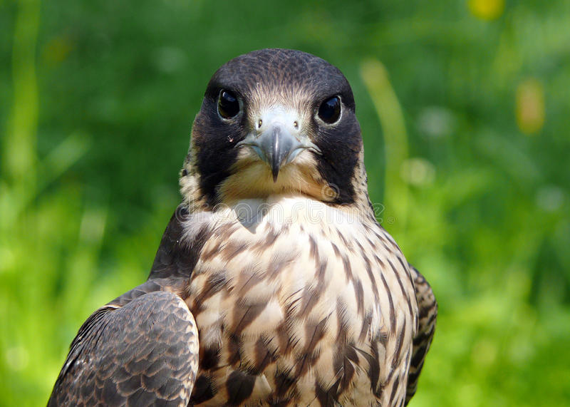 Falcon. Portrait of peregrine duck hawk from Zoo jihlava in Czech republic (Falco peregninus stock image