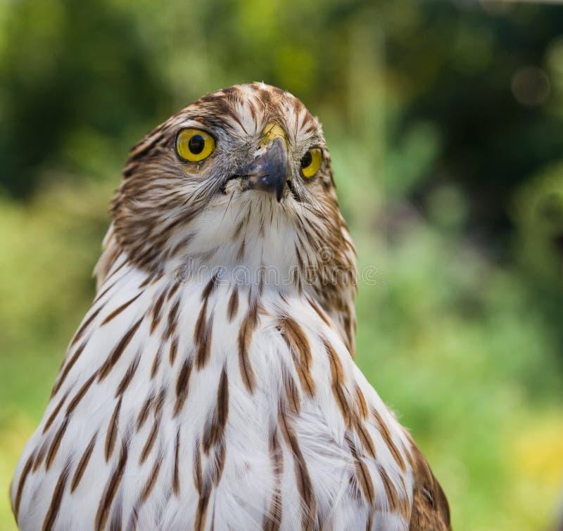 Free Falcon Stock Image - 16018291