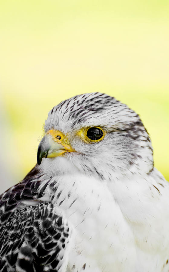 Download A falcon stock photo. Image of conservation, animal, flight - 20738436