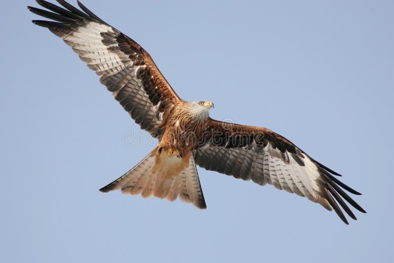 Download Falcon stock image. Image of predatory, eagle, dangerous - 23581303