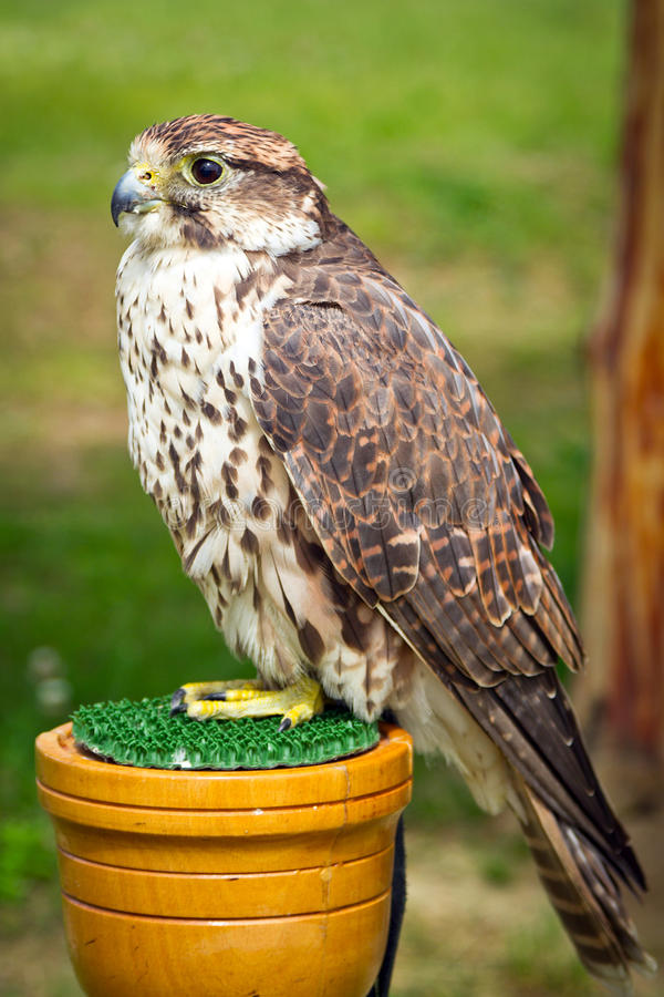 Download Falcon stock photo. Image of hunter, falconry, beak, south - 26862450