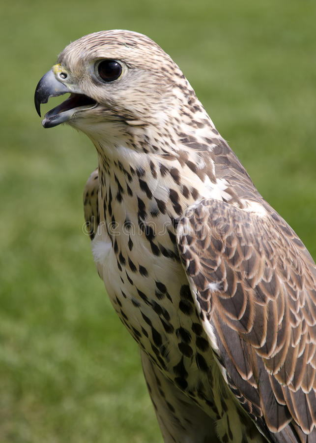 Download Falcon stock image. Image of outdoor, closeup, hunter - 27154891
