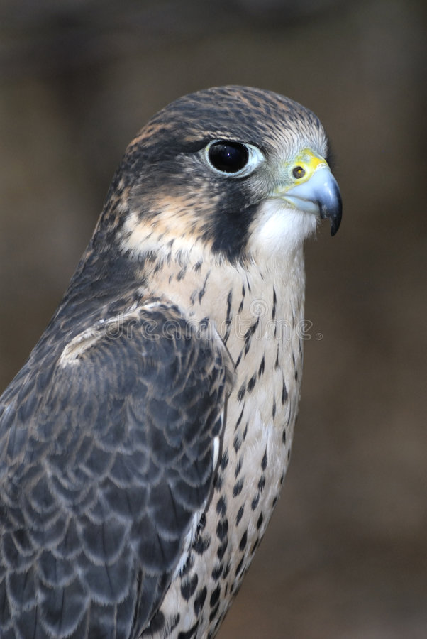 Falcon. A falcon on a tree stump royalty free stock images