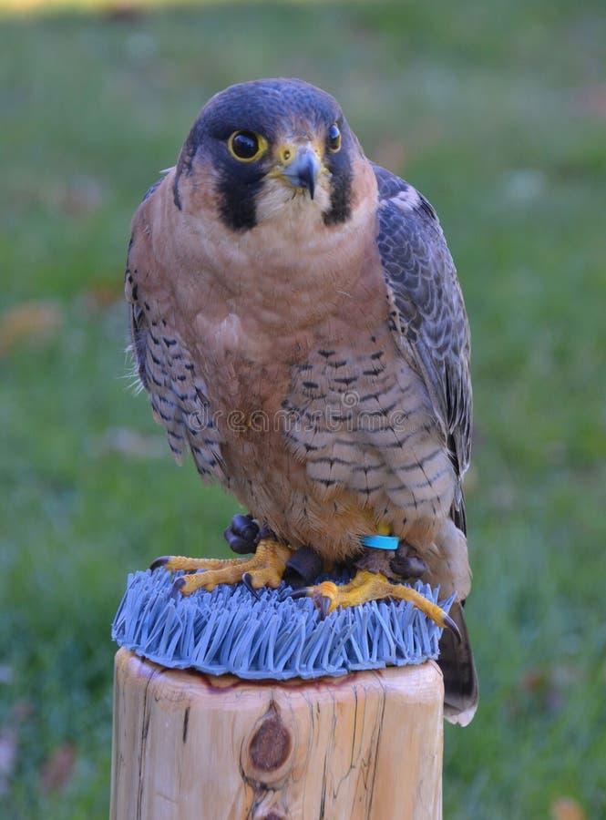 Falcon01 库存图片