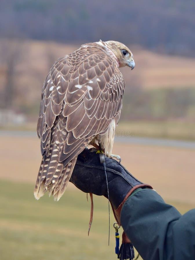 Falcon016 图库摄影