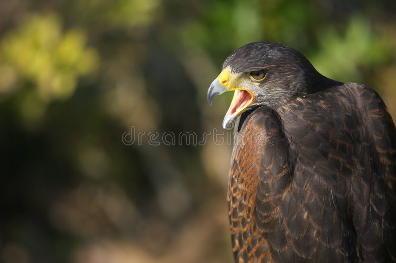 Download Falcon stock image. Image of yellow, nature, green, feather - 5492603
