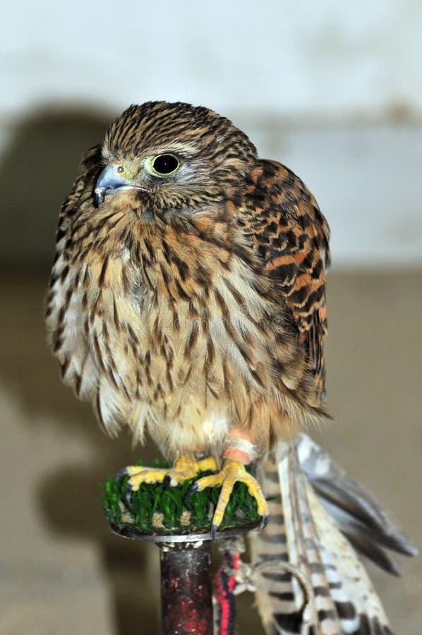 Download Falcon stock image. Image of beak, gaze, falcon, avian - 7216511