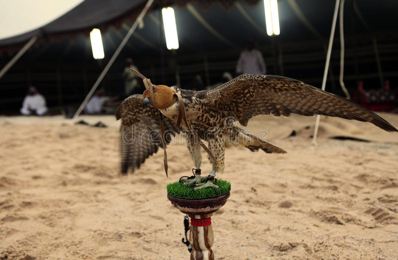 Falcon at Arab bedouin camp stock photography
