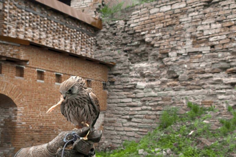 Falcon. A beautiful bird of prey, the falcon eats a chicken paw stock photography
