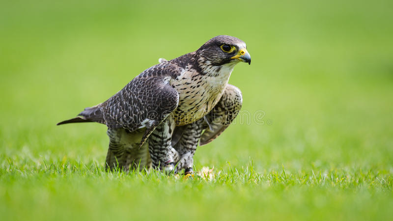 Falcon bird of prey bird stock images